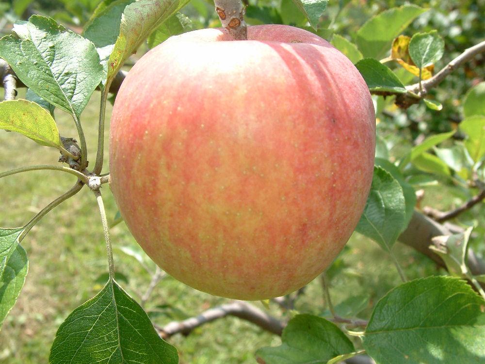 Early Season Apples At Big Horse Creek Farm Page 2
