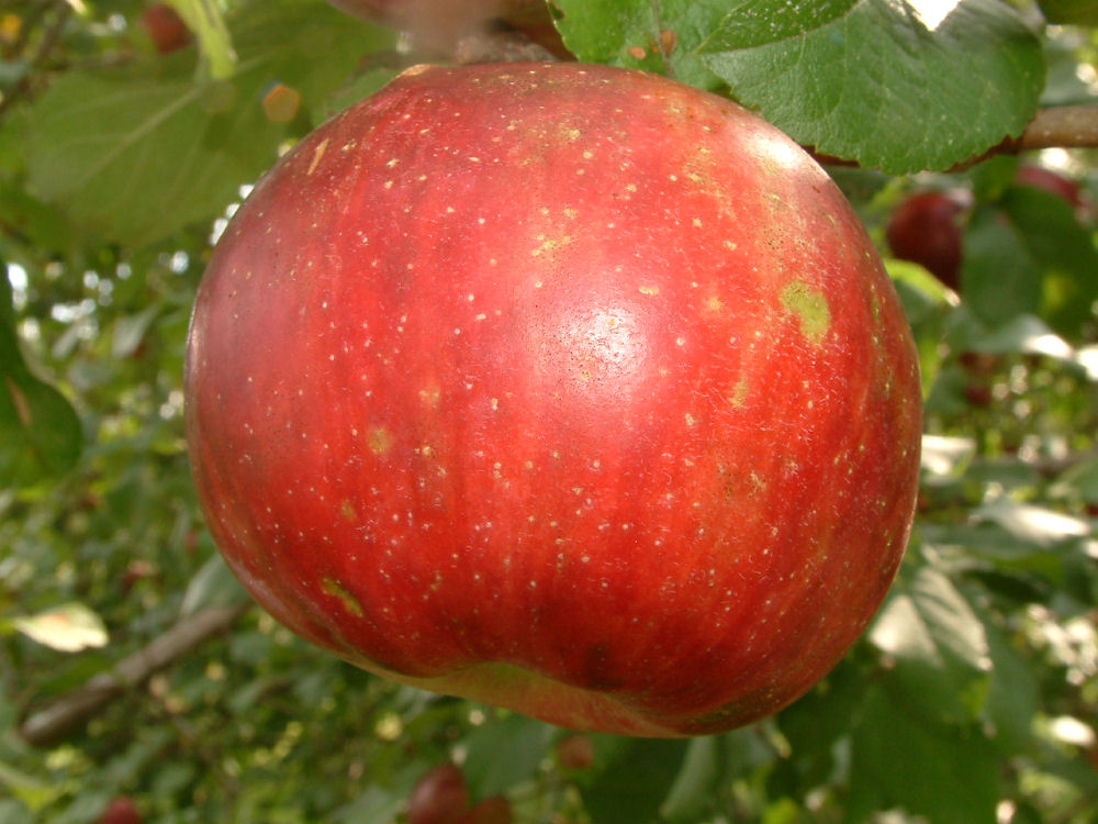 Baking Apples Available At Big Horse Creek Farm Page 16