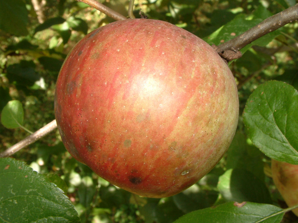 fresh eating apples at big horse creek farms page 25
